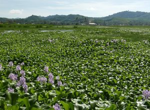Water Hyacinth Crisis on Hartebeespoort Harties Dam