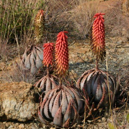 Aloe-peglerae1-1024x785