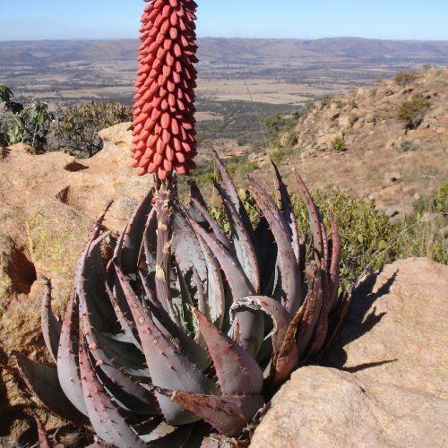 Aloe peglerae2 by Judd Kirkel